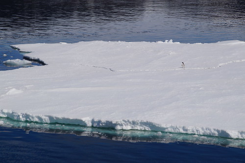 585 Weddell Sea met Adeliepinguin