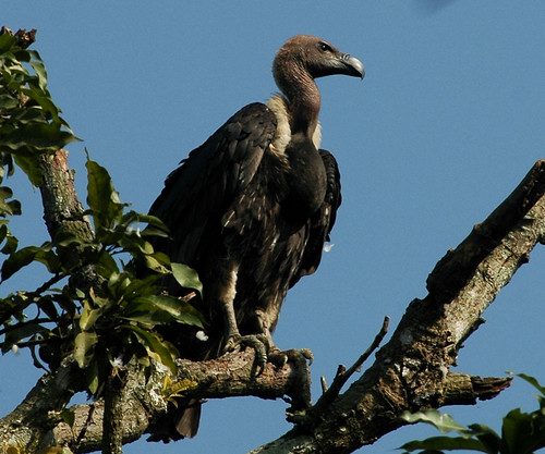White-rumped Vulture by C M Reza