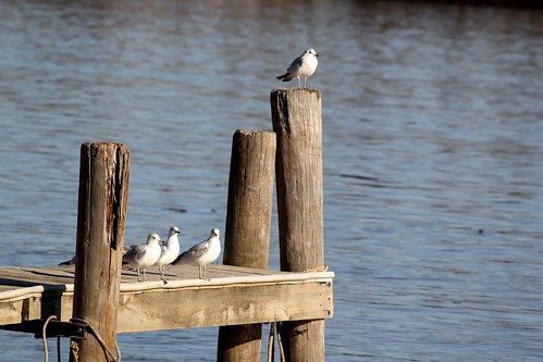 sea gulls on the Ohio river