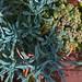 Small photo of Euphorbiaceae