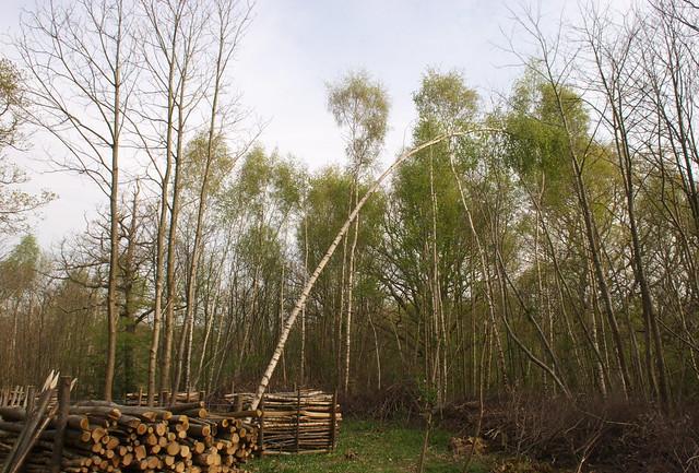 DSC_8270 Windblown tree