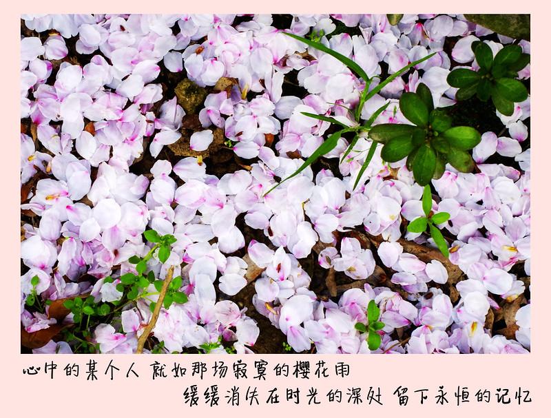 虞城環城河櫻花