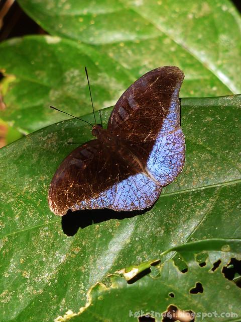 25 Bukit Serumbu Male Tanaecia iapis puseda (Horsfield's Baron)