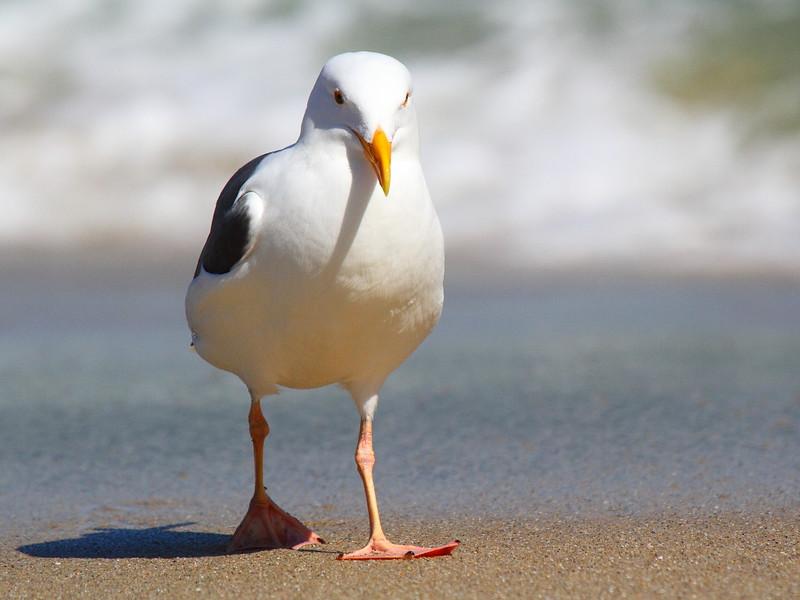 IMG_4807 Sea Gull