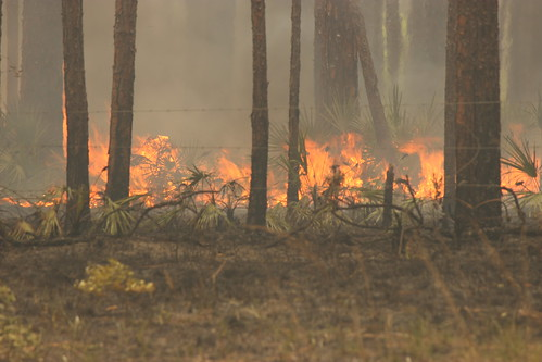 Controlled burn in the Apalachicola National Forest