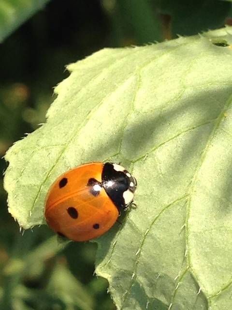 Ladybug On Spike-Haired Leaf