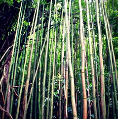 woodland, branch, leaf, bamboo, tree, sunlight, green, forest, trunk, natural environment, jungle, plant stem,