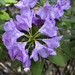 Rhododendron catawbiense, Cheekwood Botanical Garden, Nashville, Tennessee