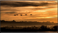 Sunrise and Trumpeters Swans