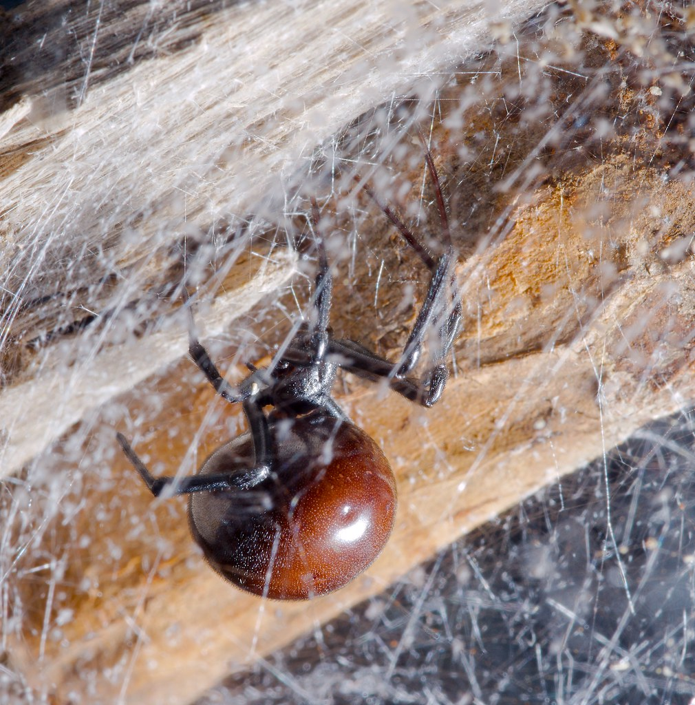 Black Widow Spider (Latrodectus)