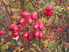 Rosa Canina Fruit