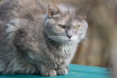 domestic long-haired cat, animal, british semi-longhair, small to medium-sized cats, pet, fauna, siberian, cat, carnivoran, whiskers, nebelung, norwegian forest cat, domestic short-haired cat,