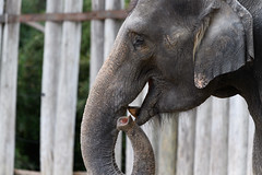 Elephant Profile with Trunk