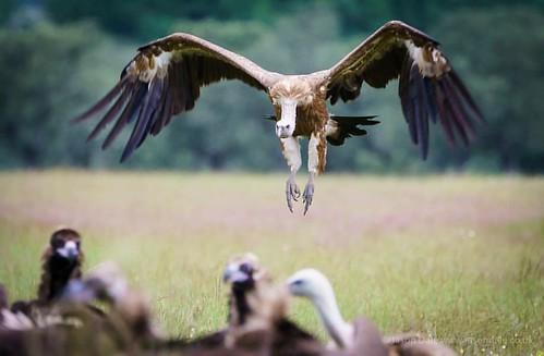 Vulture coming in to land - shot at Calera in Spain #vulture #vultures #birds #birdsofinstagram #birdstagram #birdphotography #nature #natureslens #naturephotography #wildlife #wildlifephotography #birdsinflight #birdsofafeather #calera #spain #sonyimages