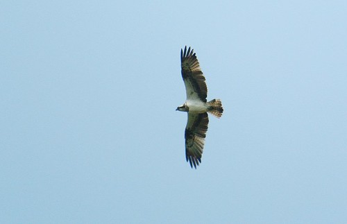 Osprey over Broom GP
