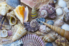 sea snail(0.0), food(0.0), escargot(0.0), animal(1.0), clam(1.0), molluscs(1.0), seafood(1.0), seashell(1.0), cockle(1.0), conch(1.0),