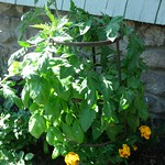 tomato planting in Containers by Leximuth