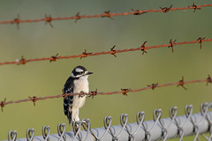 Downy Woodpecker-47206.jpg by Mully410 * Images