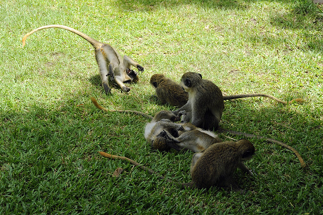 Green vervet monkeys, The Gambia