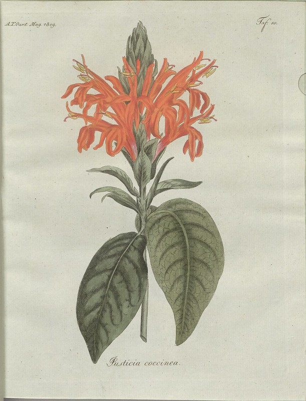Justicia coccinea (hand-coloured botanical engraving courtesy kulturerbe niedersachsen)