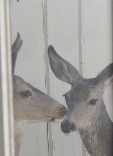 CC deer3