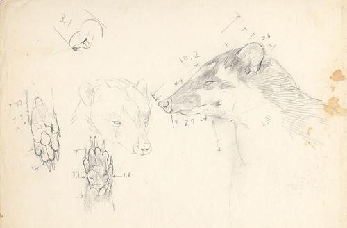 fig2. 鼬獾的頭部素描,鼻吻很發達。