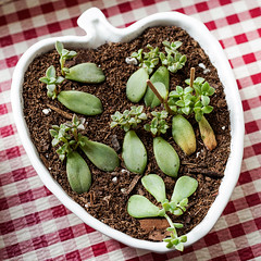 Leaf cuttings in porcelain dish with toothpick supports