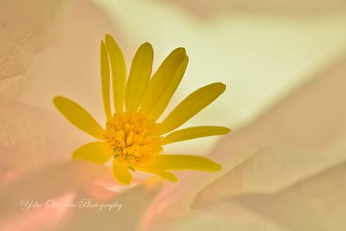 寝不足の黄色い花