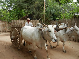 Taung Bi Village ox cart