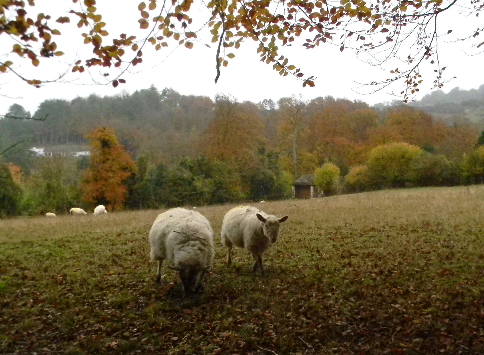 Friendly sheep Little Kimble to Saunderton