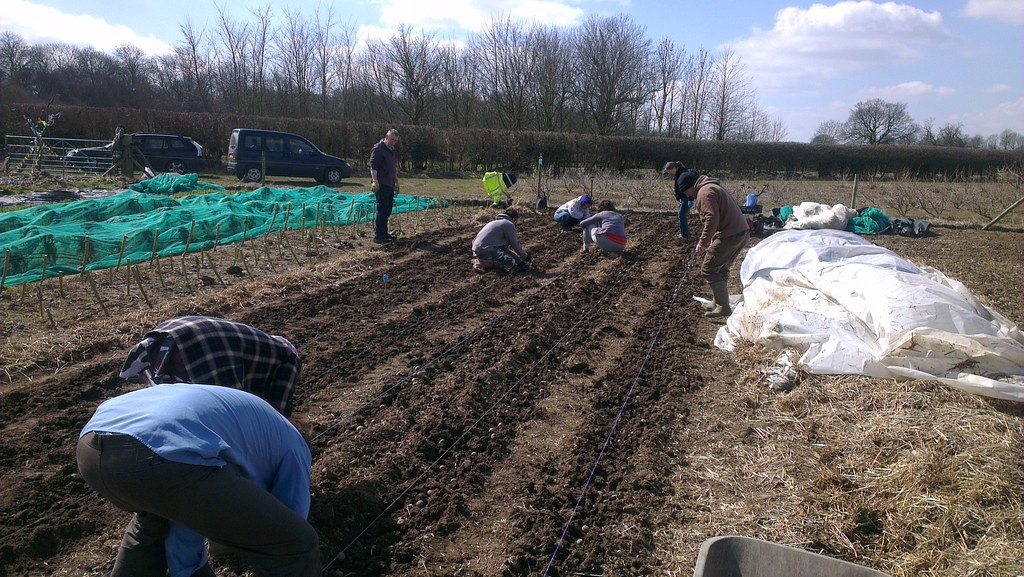 Planting potatoes in the field