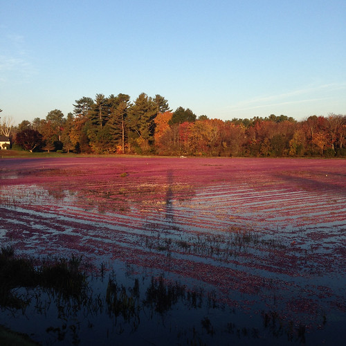 Cranberries are floated after they are picked. Photo by Jeff LaFleur of Mayflower Cranberries used with permission.