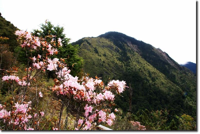 細葉杜鵑盛開