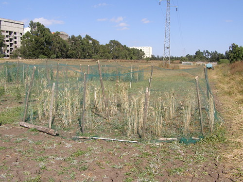 Plot of Triticale protected from the birds in the forage diversity