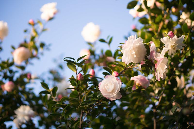 Flowers of camellia sasanqua