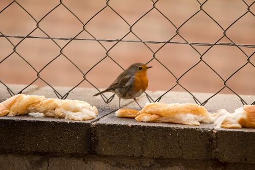 Ocells al pati. Pit-roig 2 by Escursso