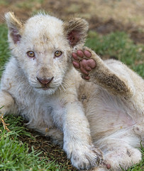White cub saluting with his hind paw