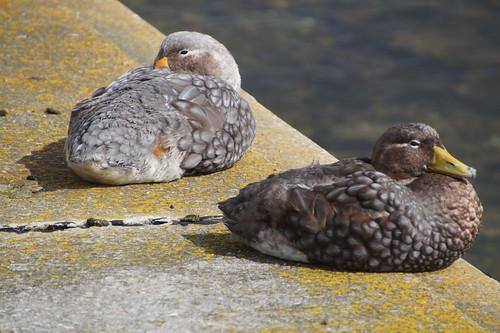 065 Falkland eenden