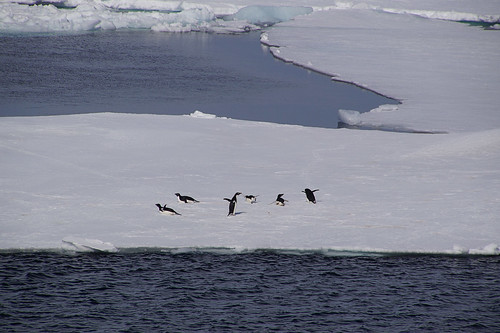623 Weddell Sea met Adeliepinguins