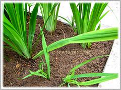 Planting Trimezia steyermarkii (Yellow Walking Iris) at the outer bed, Sept 16 2013