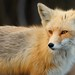 Red Fox by Mark Schwall