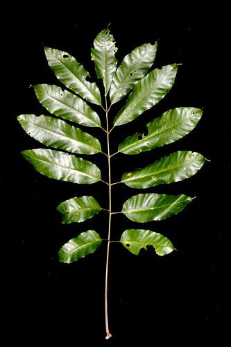Dysoxylum pettigrewianum sapling DSC_0380 (2)