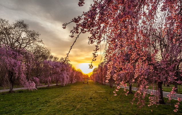 Cherry Blossom Peak Blooms To Hit Philly April 18 23 Here