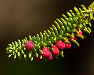 Spanish Fir twig with spring growth