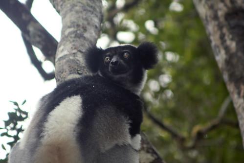 Indri Indri - Analamazaotra National Park, Madagascar