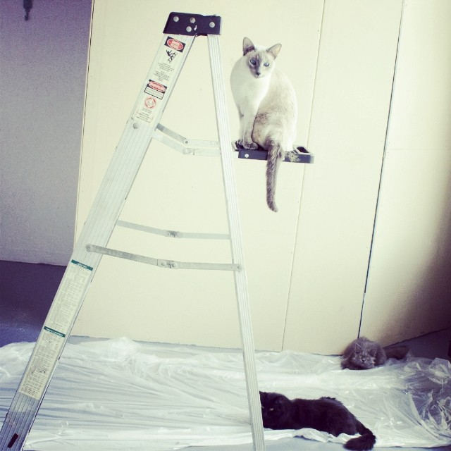 Planned on painting but I have bad helpers.  1 wont get off the ladder and the other 2 are wrapped in plastic. #goblin #cats #cat #persiancat #Persian #fluffy #fluffball #kitten #furry #catsofinstagram  #siamesecat #mainecoon #home #diy #painting #design