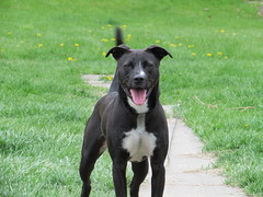 staffordshire bull terrier(0.0), dog breed(1.0), animal(1.0), dog(1.0), pet(1.0), american pit bull terrier(1.0), patterdale terrier(1.0), carnivoran(1.0),