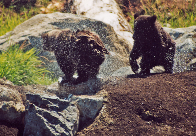 Grizzly bear cubs playing in water