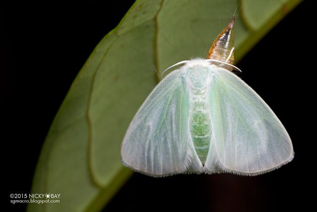 Lymantriine moth (Arctornis sp.) - DSC_7933