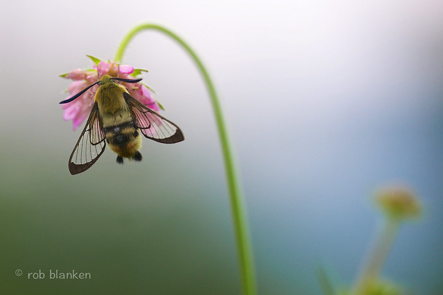 Rob Blanken (www.rbblphotography.com) - Narrow-bordered Bee Hawk-moth (Hemaris tityus, Hommelvlinder)
